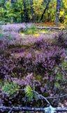 вереск Стоковая Фотография