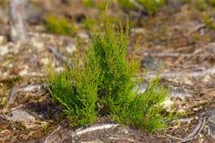 вереск bush зеленый стоковая фотография