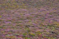вереск calluna boskoop предпосылки vulgaris Стоковое фото RF