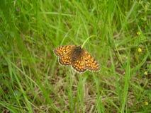 вереск fritillary бабочки Стоковые Изображения RF