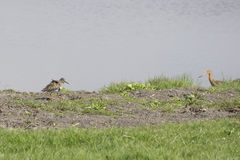 Веретенник в траве Стоковое фото RF