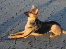 Верноподданическая и внимательная собака - собака немецкого чабана стоковые фотографии rf