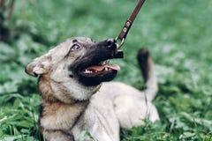 Верноподданическая собака ища предприниматель, милый конец-вверх стороны portait щенка, g стоковое изображение