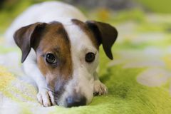 Верноподданический собака Стоковое фото RF
