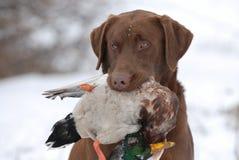 верный охотник Стоковое Фото