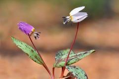 вертепы canis выслеживают фиолет зуба erythronium s Стоковые Фото