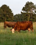 Вертикальное изображение 2 коров crossbred пася стоковые фотографии rf