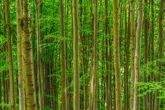 Вертикальные линии сформированные стволами дерева Стоковое Изображение RF