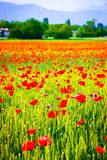 Вертикальный взгляд цветков мака в пшеничном поле стоковое фото