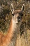 Вертикальный портрет гуанако жуя на что-то, и слушает с обоими ушами передними Стоковая Фотография RF