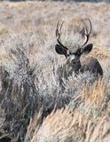Вертикальный портрет самца оленя оленей осла стоковые изображения rf