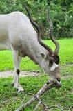 вертикаль антилопы addax Стоковое Изображение RF