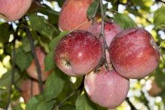 вертикаль вала съемки яблока красная Стоковые Изображения RF