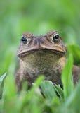 Вертикаль жабы тросточки Стоковая Фотография