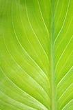 вертикаль листьев детали calla Стоковое фото RF