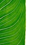 вертикаль листьев calla Стоковые Фотографии RF
