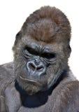 вертикаль портрета гориллы стоковое изображение rf