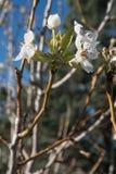 Вертикаль югозападного цветеня грушевого дерев дерева Неш-Мексико Стоковые Изображения