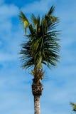 Вертикальная верхняя часть пальмы Стоковое фото RF