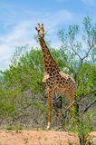 Вертикальная съемка жирафа Стоковое фото RF