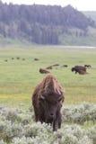 Вертикальное изображение ландшафта молодого буйвола быка Стоковое Изображение