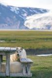 Вертикальный взгляд исландских овец Стоковое Фото