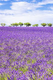 Вертикальный взгляд красивого поля лаванды Стоковое Фото