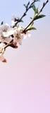 Вертикальный вишневый цвет знамени с молодыми зелеными листьями Стоковое Фото