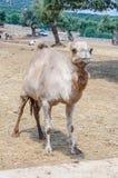 Вертикальный портрет верблюда Стоковые Фото