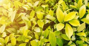Вертикальный сад, предпосылки картины зеленых лист тени безшовной текстурированные и оранжевые Солнця света на угле с Copyspace к Стоковые Фото