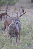 Вертикальный фотоснимок завивать губы самца оленя whitetail Стоковое фото RF