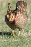 Вертикальный фотоснимок меньшего цыпленка прерии Стоковое Изображение