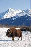 Вертикаль вола мускуса с горами Snowy Стоковая Фотография RF