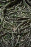 Вертикаль корня дерева Стоковое Фото