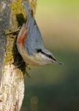 Вертикаль поползневого (europea Sitta) Стоковые Фотографии RF