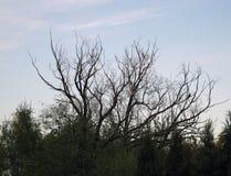 Верхние ветви мертвого дерева против голубого неба стоковая фотография rf