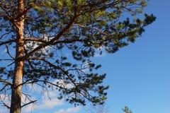 Верхние ветви сосны против неба Стоковые Фото
