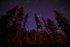 Верхние части вечнозеленых деревьев на ноче с звездами Стоковая Фотография