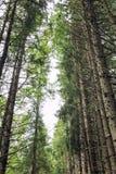 Верхние части высокорослых сосен в лесе Стоковое Изображение RF
