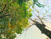 Верхние части выставки взгляда деревьев снизу ветвь деревьев лиственны в утре с солнечностью Стоковые Изображения RF