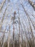 Верхние части дерева против пасмурного голубого неба Стоковое Изображение RF