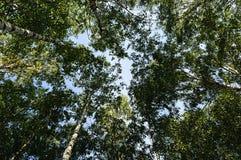 Верхние части деревьев березы в лесе лета Стоковые Фото