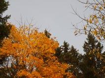 Верхние части деревьев в лесе осени на фоне осени Стоковое Изображение RF