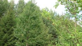 Верхние части деревьев против неба Кроны зеленых деревьев сток-видео