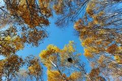 Верхние части дерева березы в осени Стоковое Изображение