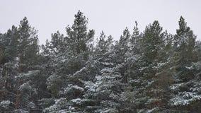 Верхние части дерева зимы в природе леса зимы снега благоустраивают красивую предпосылку рождественской елки Стоковые Фотографии RF