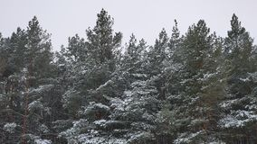 Верхние части дерева зимы в природе леса зимы снега благоустраивают красивую предпосылку рождественской елки Стоковое Изображение