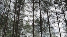 Верхние части деревьев Сосновый лес видеоматериал