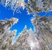 Верхние части покрытых снег елей на предпосылке голубого неба Стоковое Изображение
