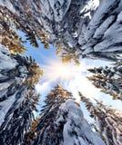 Верхние части покрытых снег елей Стоковые Фото